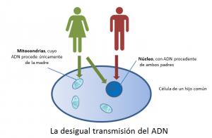La desigual transmisión del adn
