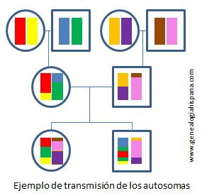 Ejemplo de transmisión de las cadenas de ADN en los autosomas